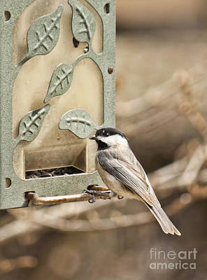 Photograph - Chickadee by Lena Auxier