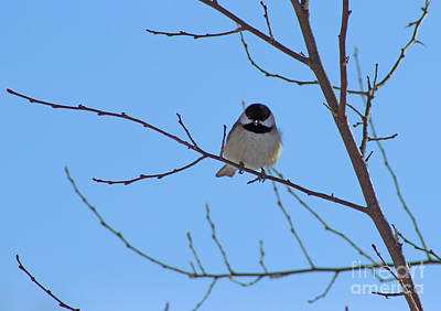 Photograph - Chickadee Looking At You by Karen Adams