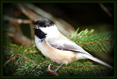 Photograph - Chickadee by Michaela Preston