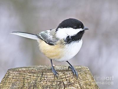 Chickadee On A Used To Be Tree Art Print by Heather King