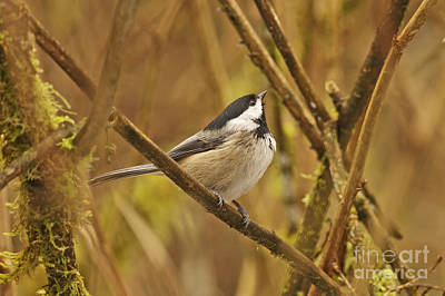 Photograph - Chickadee On Alert by Sharon Talson