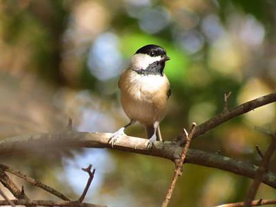 Photograph - Chickadee On Branch 1 by Teresa Cox