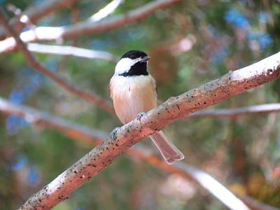 Photograph - Chickadee On Branch 2 by Teresa Cox