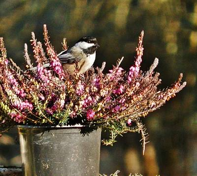 Photograph - Chickadee On Heather by VLee Watson