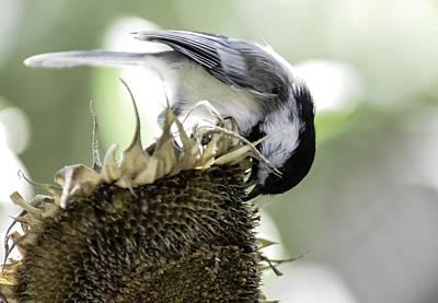 Photograph - Chickadee On Sunflower by Rae Ann  M Garrett