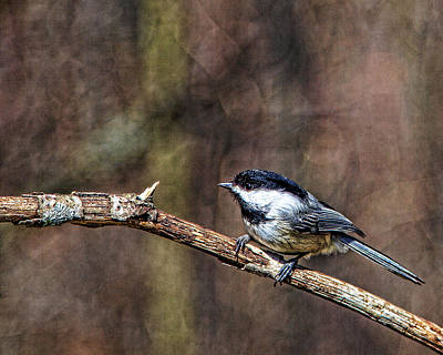 Photograph - Little Chickadee by John Crothers