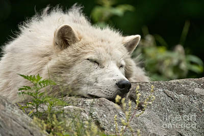 Photograph - Arctic Wolf Pictures 161 by Wolves Only