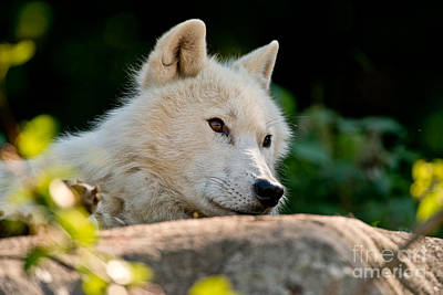 Photograph - Arctic Wolf Pictures 162 by Wolves Only