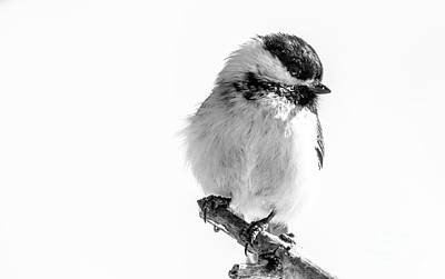 Photograph - Chickadee Portrait In Black And White. by Cheryl Baxter