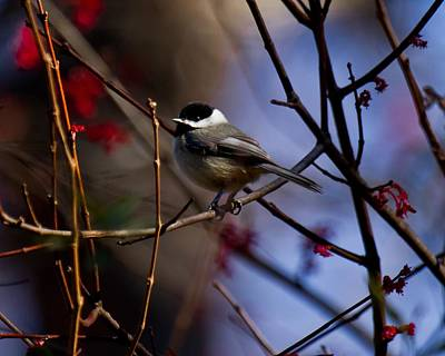 Art Print featuring the photograph Chickadee by Robert L Jackson