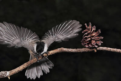 Photograph - Chickadee Showoff by Theo
