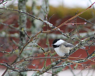 Photograph - Chickadee Sitting by Leone Lund