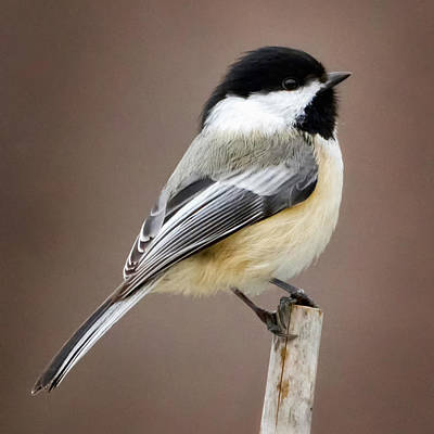 Chickadee Photograph - Chickadee Square by Bill Wakeley