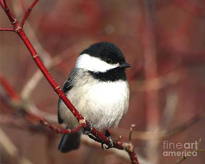 Art Print featuring the photograph Chickadee by Susan  Dimitrakopoulos