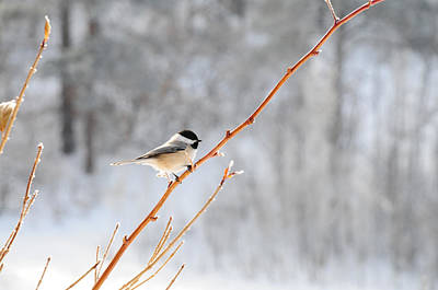 Photograph - Chickadee by Susie Rieple