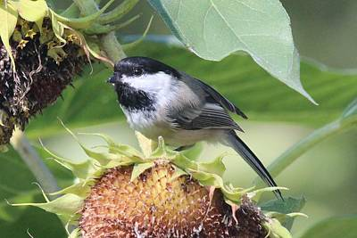 Photograph - Chickadee Watching Out From A Sunflower by Lucinda VanVleck