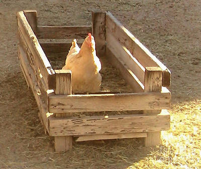 Photograph - Chicken In A Box by Cristophers Dream Artistry