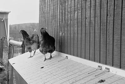 Photograph - Chicken Inspectors by Daniel Kasztelan