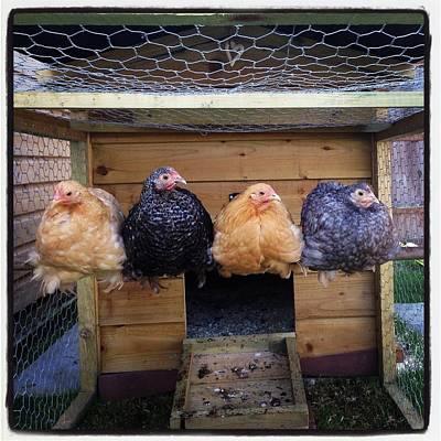 Pekin Bantam Photograph - Chickens In A Row by Ellie Allen