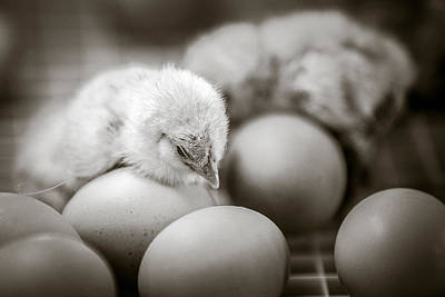 Photograph - Chicks by Sennie Pierson