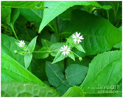 Photograph - Chickweed Trio by Kendall Kessler