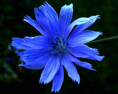 Photograph - Chicory 2 by Mark Malitz