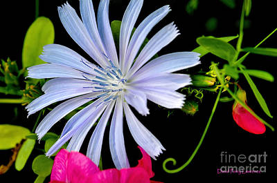 Photograph - Chicory And Sweet Pea by David Perry Lawrence