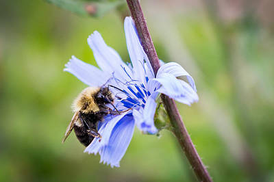 Photograph - Chicory Bee by Bill Pevlor