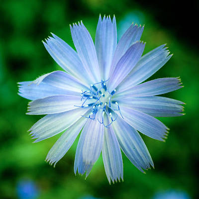 Photograph - Chicory by Chris Bordeleau