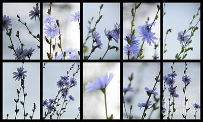 Photograph - Chicory Collage 1 by France Laliberte