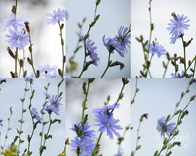 Photograph - Chicory Collage 3 by France Laliberte