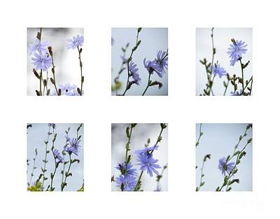 Photograph - Chicory Collage 4 by France Laliberte