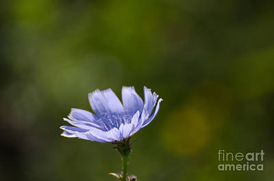 Photograph - Chicory Flower Closeup by Kennerth and Birgitta Kullman