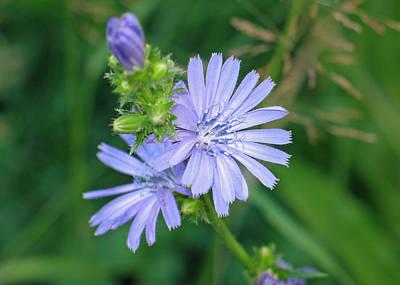 Chicory Flower Original by Gerry Bates