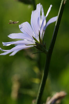 Photograph - Chicory Flower by Peg Toliver