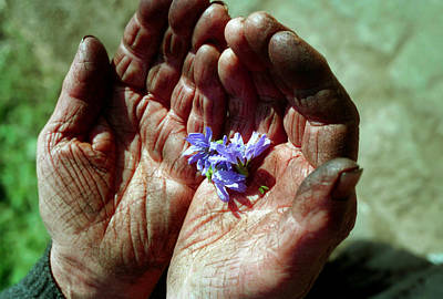 Photograph - Chicory Flowers In Peasants' Hands by Emanuel Tanjala