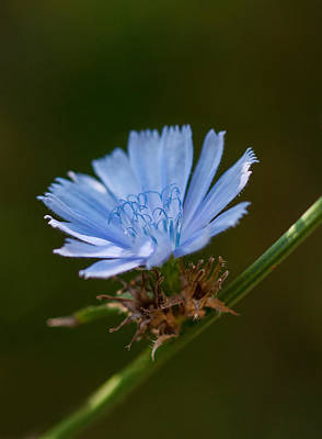 Photograph - Chicory by Lara Ellis