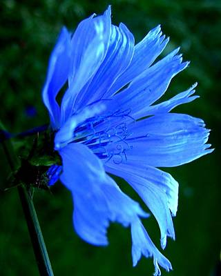 Photograph - Chicory by Mark Malitz