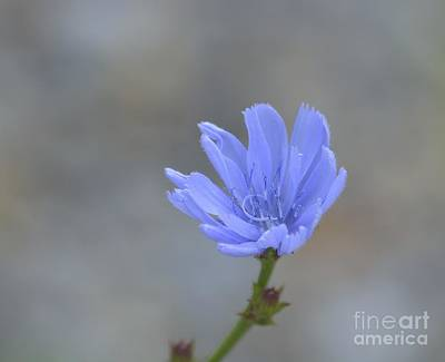 Photograph - Chicory by Randy Bodkins