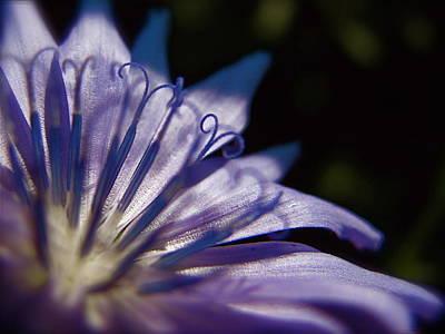 Chicory Art Print by Tim Good