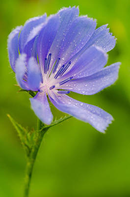 Pyrography - Chicory With Morning Dew by Anthony Heflin
