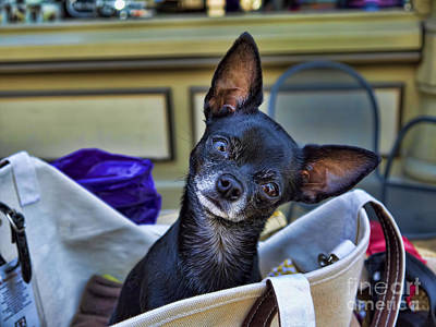 Photograph - Chihuahua In A Bag by Brenda Kean