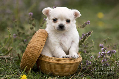 Photograph - Chihuahua In Basket by Jean-Michel Labat