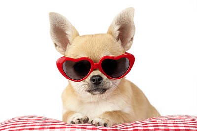 Gingham Digital Art - Chihuahua In Heart Sunglasses Dp813 by Greg Cuddiford
