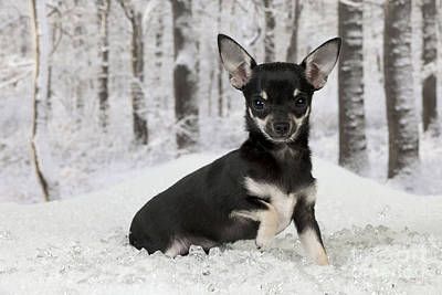 Dog In Snow Photograph - Chihuahua In Snow by John Daniels