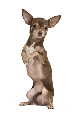 Chihuahua On Hind Legs Art Print