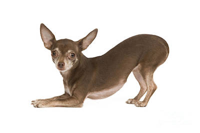 Bowing Photograph - Chihuahua Play Bowing by Jean-Michel Labat
