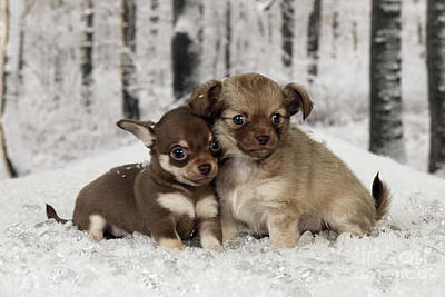 Photograph - Chihuahua Puppy Dogs by John Daniels
