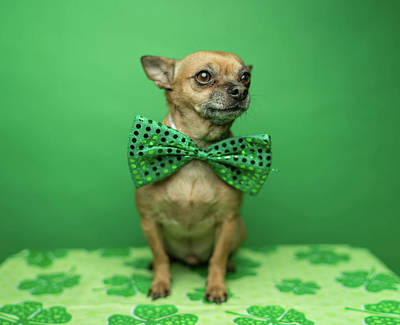 Photograph - Chihuahua Wearing A Bowtie For St by Ian Ross Pettigrew