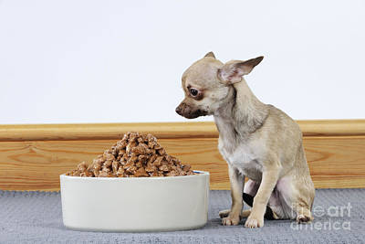 Chihuahua With Food Art Print by John Daniels